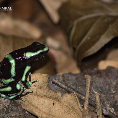Dendrobates auratus-