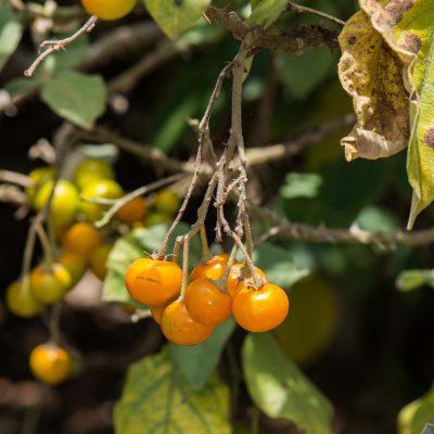 Solanum vespertilio doramae