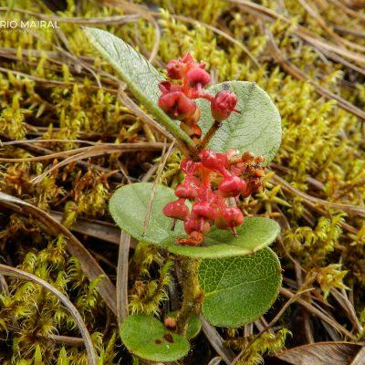 Ericaceae?