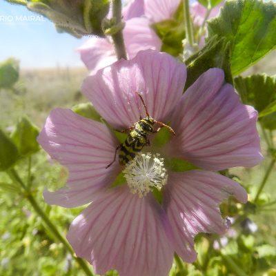 Plagionotus marcorum