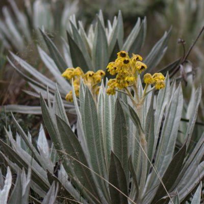 Espeletia grandiflora