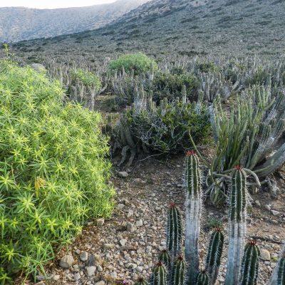 Euphorbia officinarum