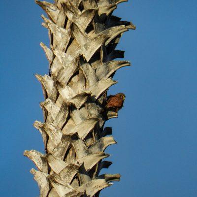 Falco tinnunculus dacotiae