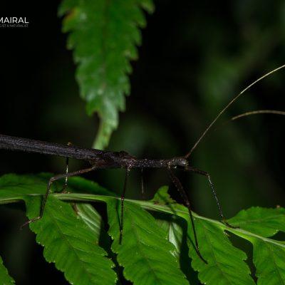 Pseudophasmatidae