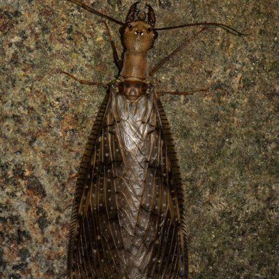 Género Corydalus