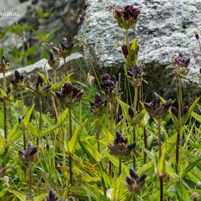 Gentiana purpurea