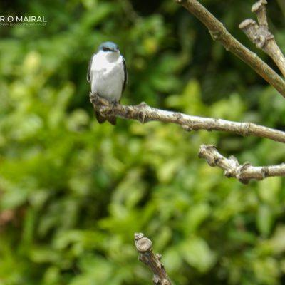 Tachycineta albiventer
