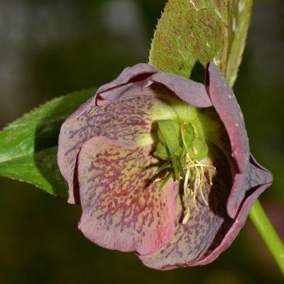 Helleborus orientale