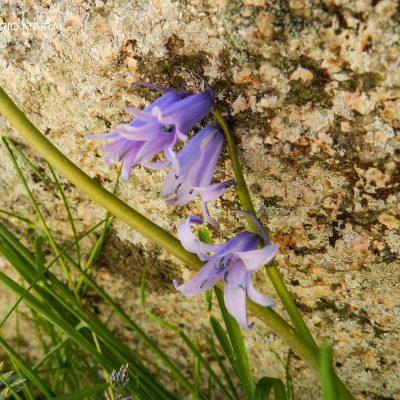 Hiacinthoides hispanica