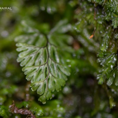 Hymenophyllum tumbrigense