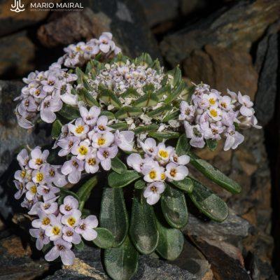 Iberis spathulata