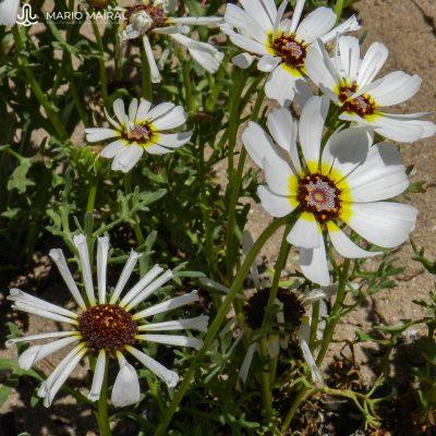 Ismelia versicolor