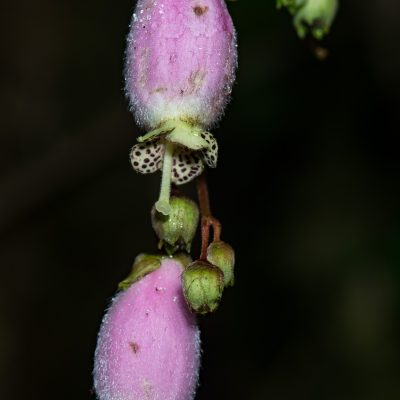 Kohleria affinis