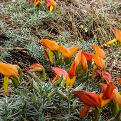 Lotus pyranthus