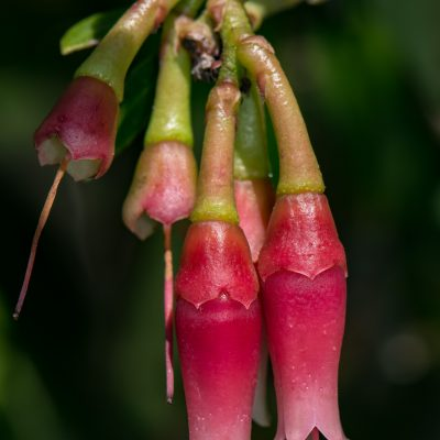 Macleania sp