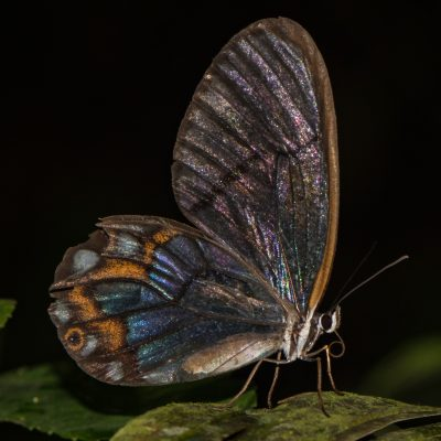 mariposa alas de cristal