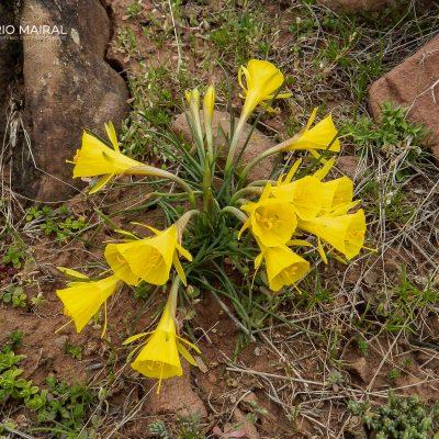 Narcissus bulbocodium