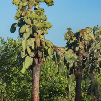 Opuntia galapageia