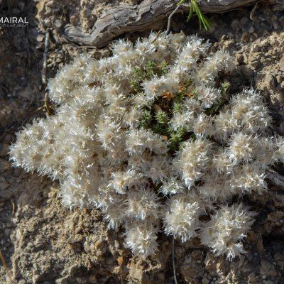 Paronychia