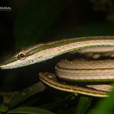 Philodryas argentea