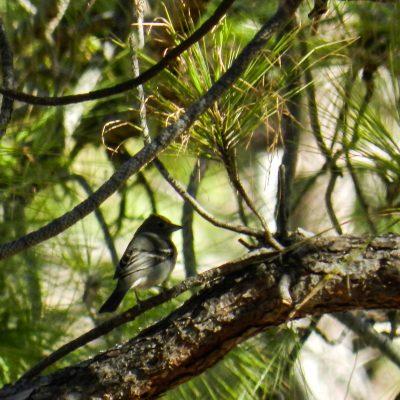 Fringilla polatzeki