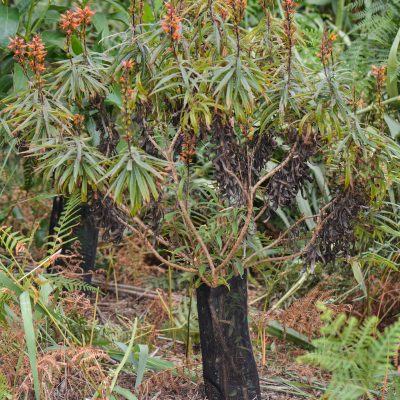 Isoplexis plantation