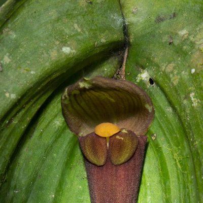Pleurothallis gargantua