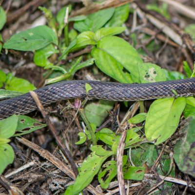 Pseudalsophis occidentalis-