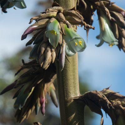 Puya bicolor