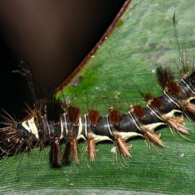 Subfamilia Lasiocampinae