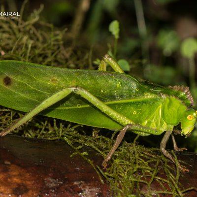Subfamilia Phaneropterinae