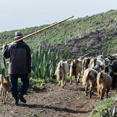 Teno Alto shepherd