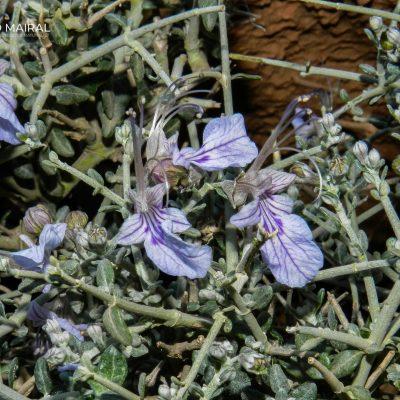 Teucrium chardonianum