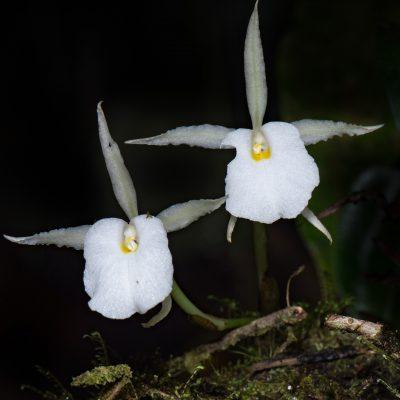 Trichopilia fragrans