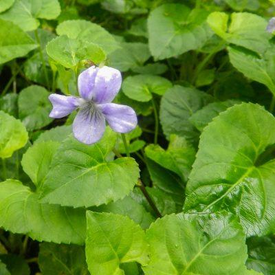 Viola anagensis